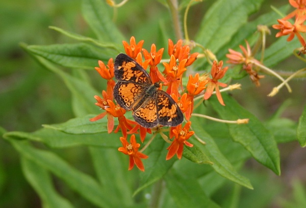 Butterfly on butterfly weed (photo by Kate St. John)