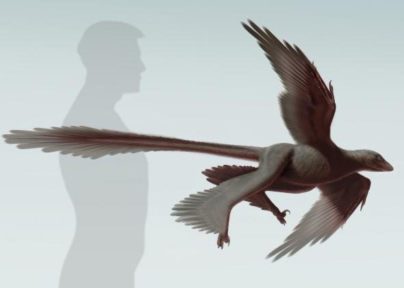 Four-winged dinosaur, Changyuraptor yangi, discovered in China (illustration by Stephanie Abramowicz, NHM)