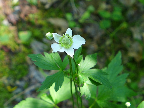 Thimbleweed, Armstrong County, 12 July 2014 (photo by Kate St. John)