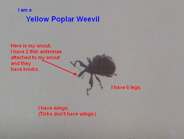 Yellow poplar weevil is not a tick (photo by Kate St. John)