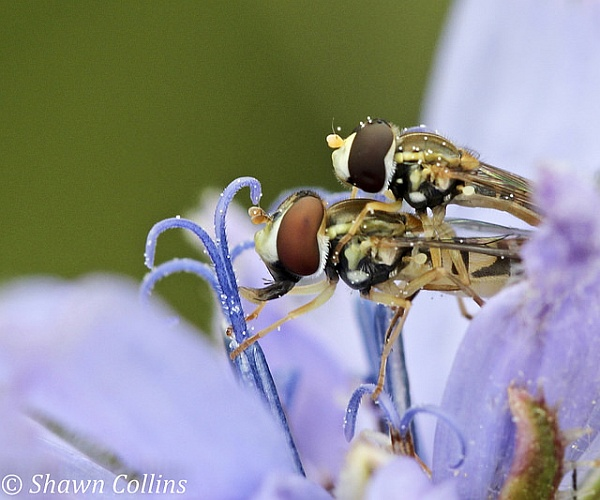 Hover flies mating, Custards Marsh (photo by Shawn Collins)