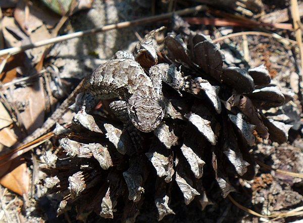 Eastern fence lizard on a pine cone, 6 Jul 2014, VA Beach (photo by Kate St.John)