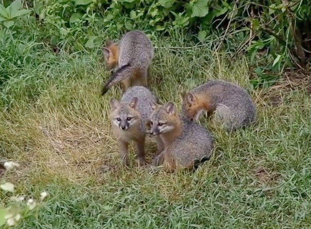 Gray fox kits, Allegheny County, June 2014 (image from Tana A's video)