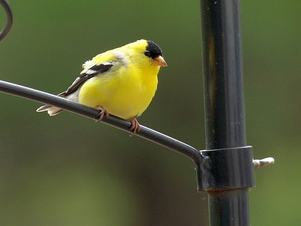 Male American goldfinch (photo by Chuck Tague)