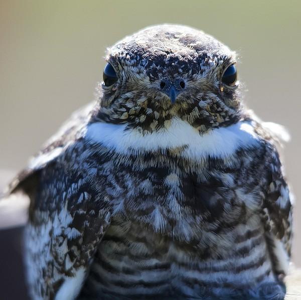 Common nighthawk closeup (photo by Dan Arndt)