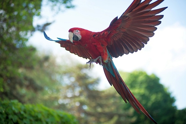 Green-winged macaw at the National Aviary (photo courtesy of the National Aviary)