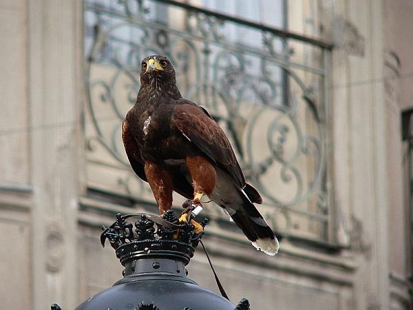 Harris' Hawk working as a falconer's bird in Spain (photo by Manuel González Olaechea y Franco via Wikimedia Commons)