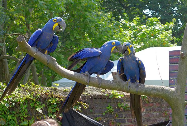 Hyacinth macaws at the Taking Flight show at the National Aviary (photo by Kate St. John)
