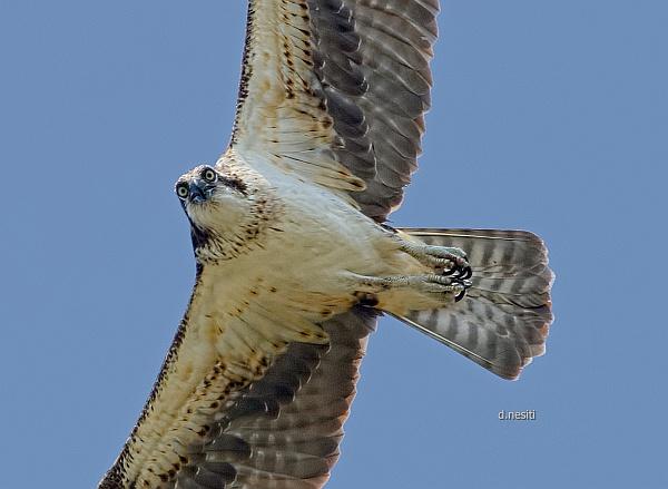 Juvenile opsrey flying at Duquesne, PA (photo by Dana Nesiti)