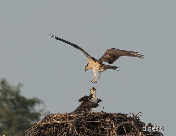 Osprey at nest, Aug 2014 (photo by Dana Nesiti)