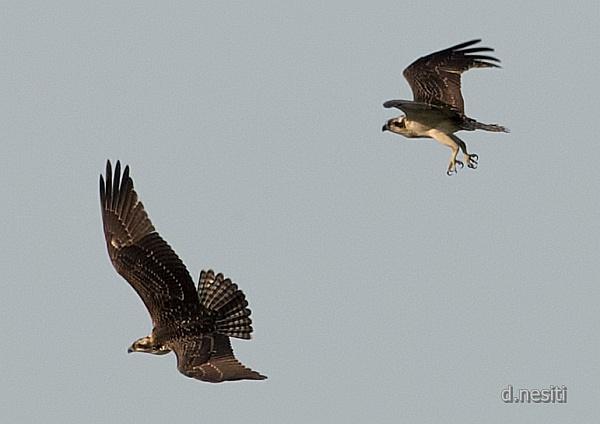 Osprey at Duquesne, August 2014 (photo by Dana Nesiti)