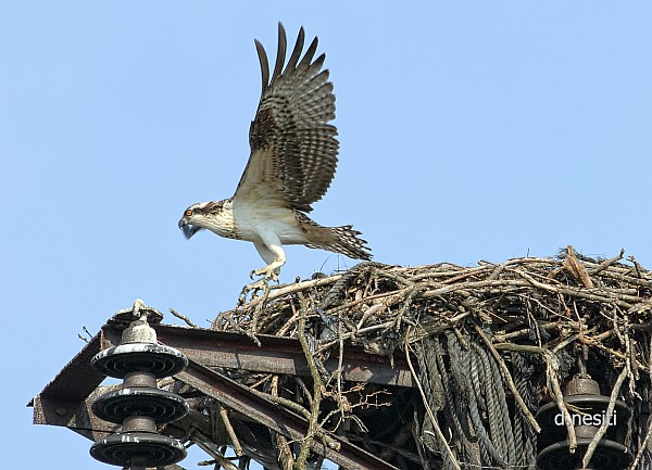 Osprey flying for the first time, 8 Aug 2014 (photo by Dana Nesiti)