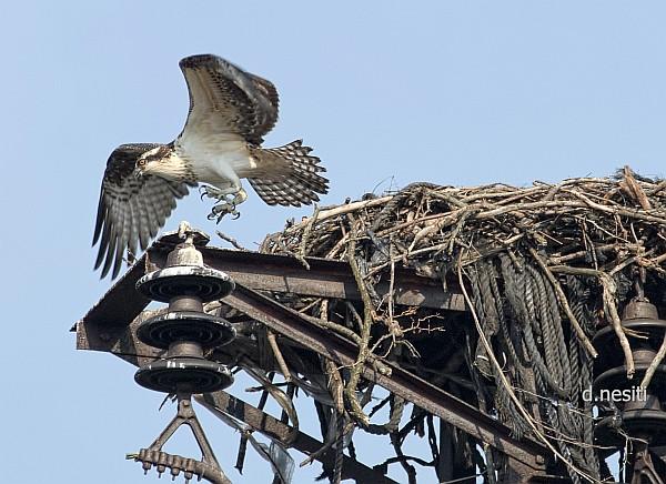 Osprey fledging, 8 Aug 2014 (photo by Dana Nesiti)