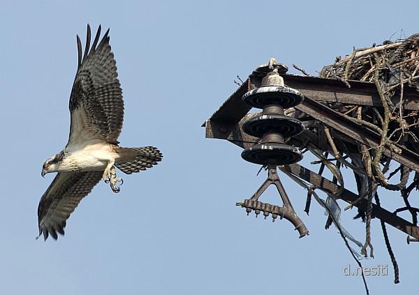 Osprey fledges, 8 Aug 2014 (photo by Dana Nesiti)