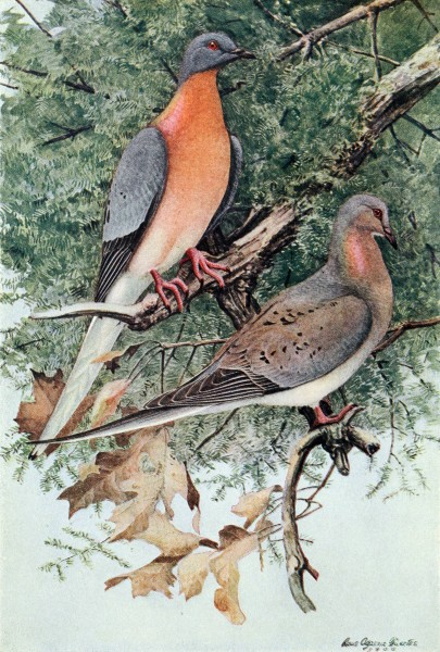 Passenger pigeons by Louis Agassiz Fuertes, 1907 (image in public domain via Wikimedia Commons)