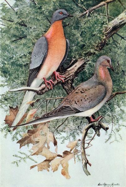 Passenger pigeons by Louis Agassiz Fuertes, 1907 (image in public domain via Wikimedia Commons)