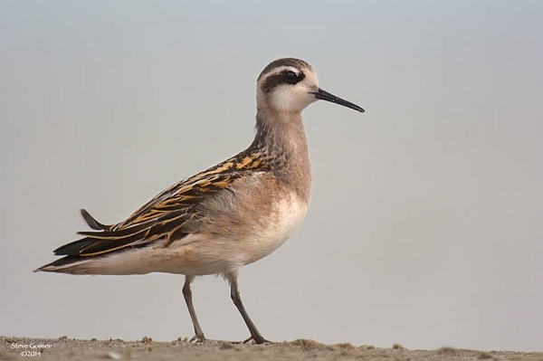 Red-necked phalarope at Conneaut Harbor (photo by Steve Gosser)