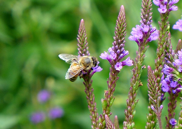 Honeybee at blue vervain, August 2014 (photo by Kate St. John)