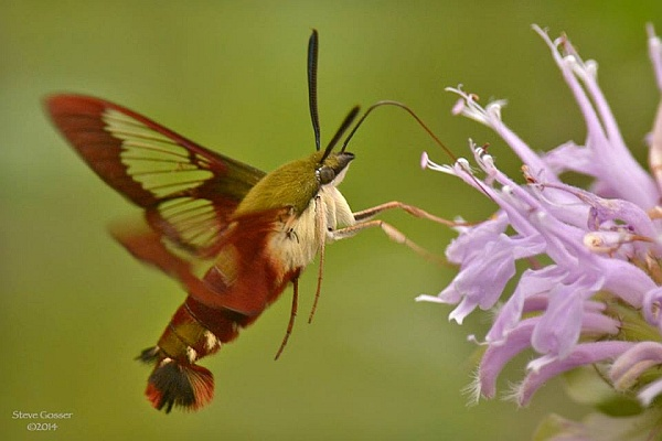 Hummingbird moth at wild bergamot (photo by Steve Gosser)