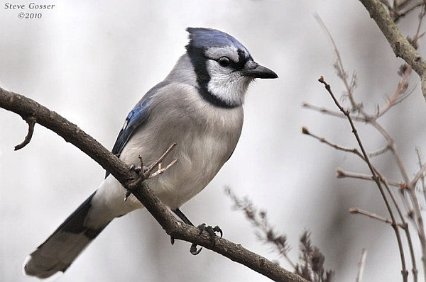 Blue Jay (photo by Steve Gosser)