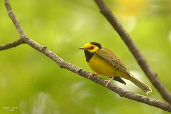 Hooded warbler (photo by Steve Gosser)