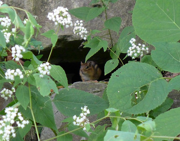 Chipmunk in a rock crevice, Schenley Park (photo by Kate St. John)