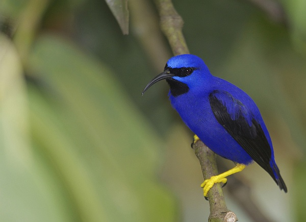Purple honeycreeper, Trinidad (photo by Greg Smith via Flickr, Creative Commons license)