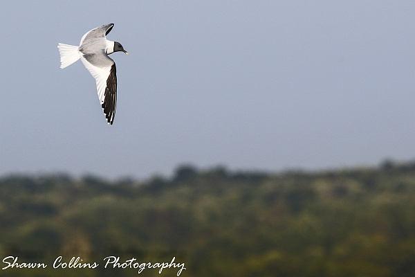 Sabine's gull at Pymatuning Spillway, 5 Sep 2014 (photo by Shawn Collins)