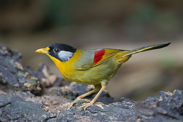 Silver-eared Mesia (Leiothrix argentauris), Mae Wong National Park, Nakhon Sawan,Thailand (photo by JJ Harrison via Wikimedia Commons)