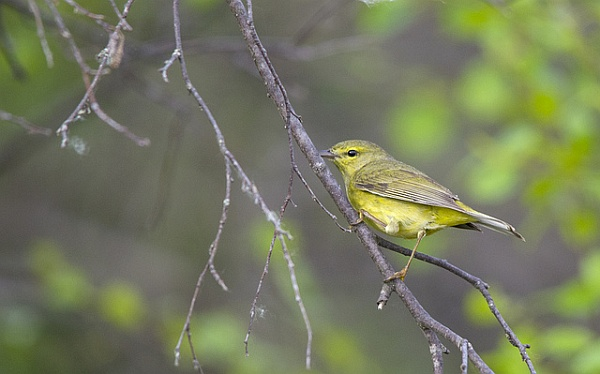 Female yellow warbler (photo by Dan Arndt)