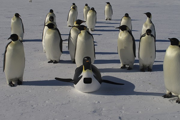 Emperor penguins with a spy in the Huddle, a PBS NATURE Special (photo courtesy of Frederique Olivier/©JDP)