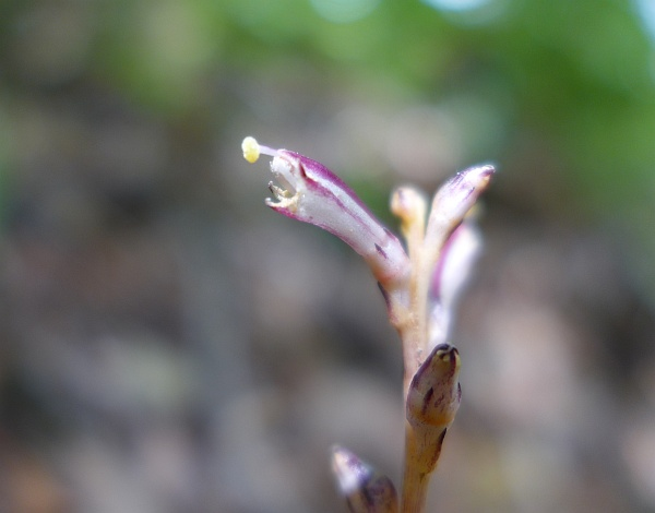 Close-up of beech drops' flower (photo by  Kate St. John)