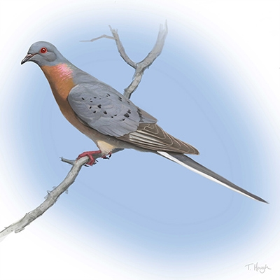 Digital painting of the extinct Passenger Pigeon Ectopistes migratorius by Tim Hough via Wikimedia Commons