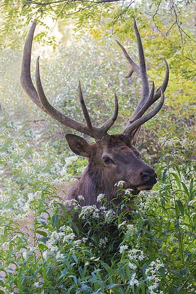 Elk among the flowers (photo by aul Staniszewski)