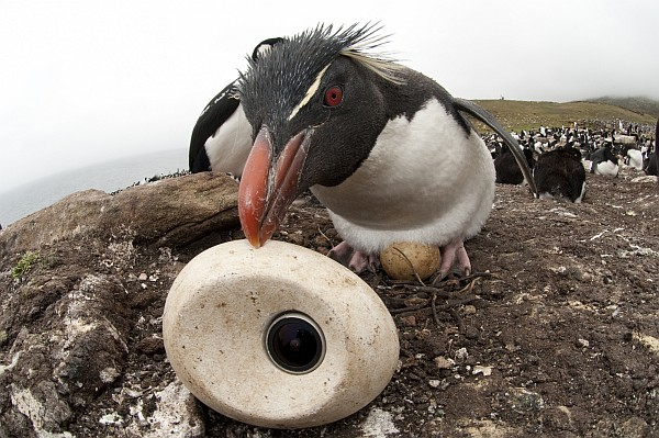 Rockhopper penguin tries to adopt eggcam (photo courtesy of Philip Dalton/©JDP)