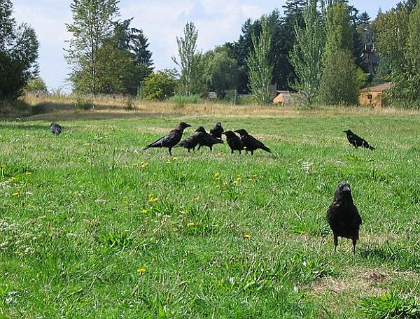 A small assembly of crows (photo by Tom Harpel via Wikimiedia Commons)