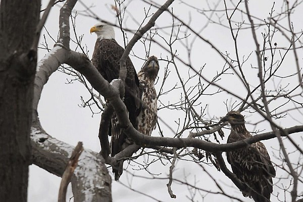 Bald eagle adult and two juveniles, Crooked Creek (photo by Steve Gosser)