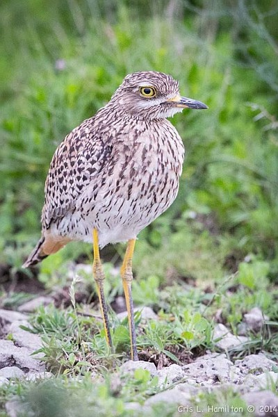 Spotted thick-knee, South Africa (photo by Cris Hamilton)