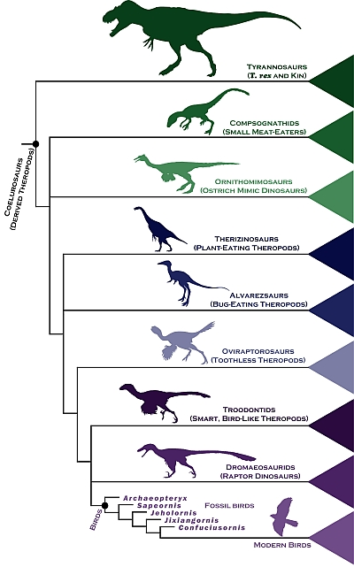 Chart of dinosaur-to-bird evolution (illustration by Steve Brusatte)