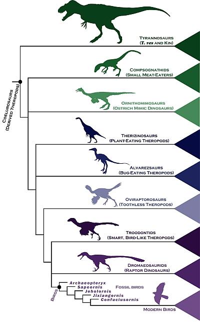 Chart of dinosaur-to-bird evolution (illustration by Steve Brusatte)
