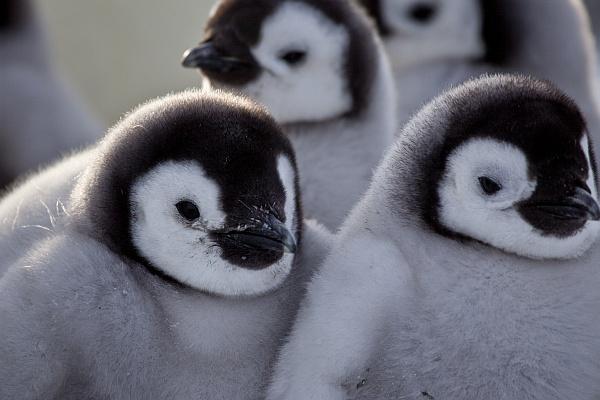 Emperor penguin chicks (photo courtesy of Frederique Olivier/©JDP)