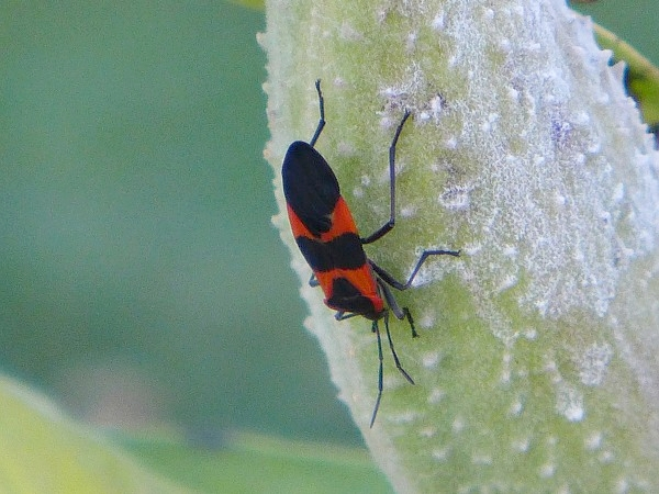 Milkweed bug (photo by Kate St. John)