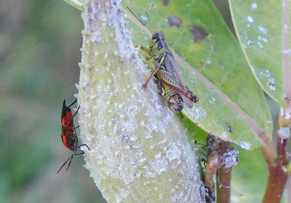Milkweed bug and grasshopper on milkweed pod (photo by Kate St. John)