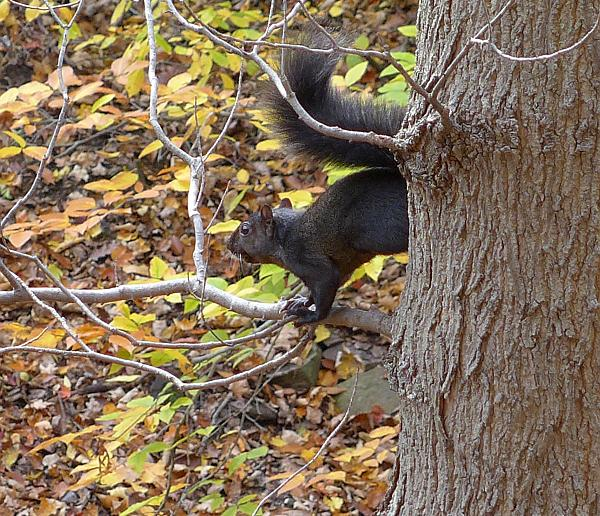 Black gray squirrel in Schenley Park (photo by Kate St. John)