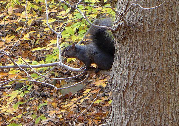 Black gray squirrel in Schenley Park (photo by Kate St. John)