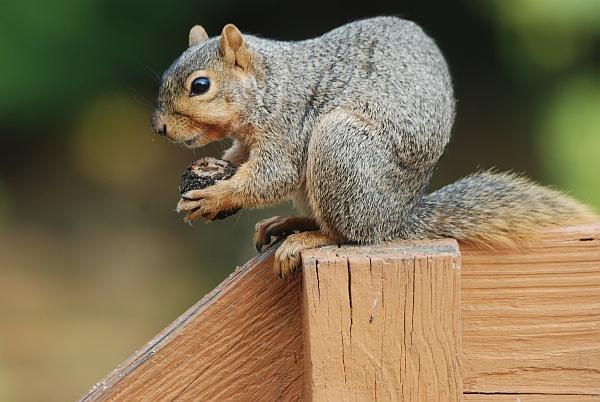 Fox squirrel opening a black walnut (photo by Donna Foyle)