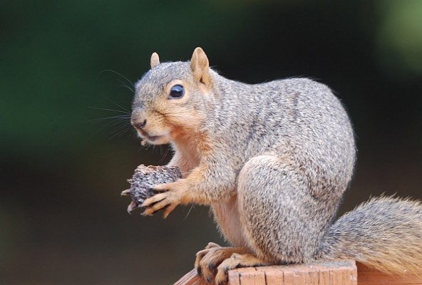 Fox squirrel with partially open black walnut (photo by Donna Foyle)