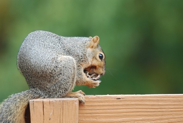 Fox squirrel opening a black walnut (photo by Donna Foyle)