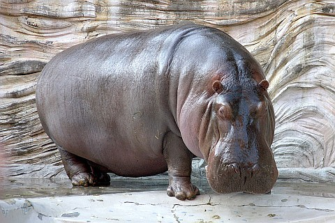 Hippopotamus (photo from Wikimedia Commons)
