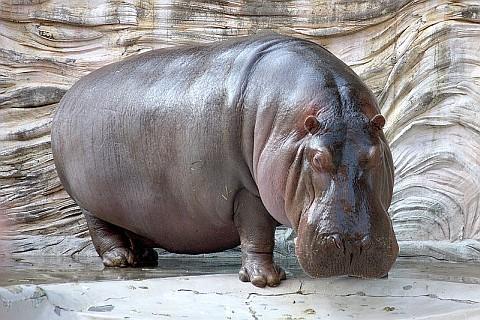 Hippopotamus (photo from Wikimedia Commons)
